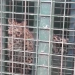 Leopard trapped in cage